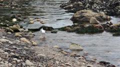 Seagull grooming bathing in ocean tidal pools HD 6250 Stock Footage