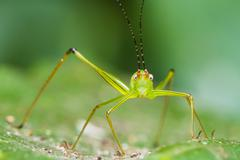 small green leaf katydid - stock photo