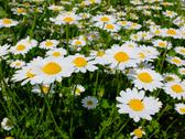 Field of daisy's Stock Photos
