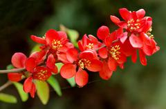 japanese quince branch - stock photo