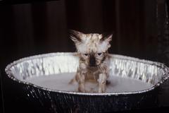 Unhappy Cat Getting Bath Stock Photos
