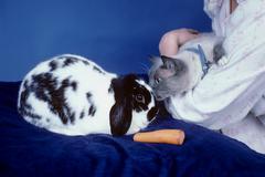 Cat Kissing a Flop Ear Rabbit Stock Photos