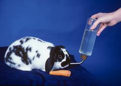 Unique Rabbit drinking and eating - stock photo