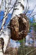 monstrous excrescence on the white birch trunk - stock photo