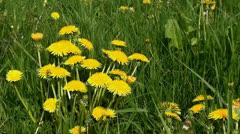 Dandelions in the meadow Stock Footage