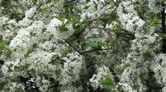 Blossoms of Hawthorn Stock Footage
