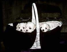 Three Maltese Puppies in a Basket - stock photo