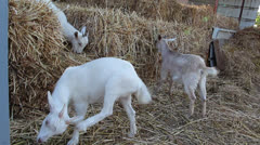 Goats eating hay2 Stock Footage