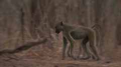 Young Savanna Baboons walking in Niassa Reserve, Mozambique. Stock Footage