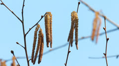 Catkins on an Alder Tree in Spring Stock Footage