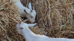 Goats eating hay3 Stock Footage