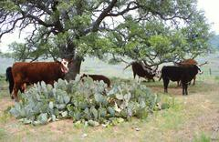 Cows and cactus Stock Photos