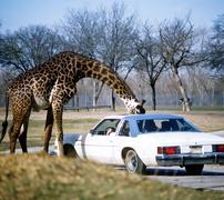 Giraffe with head in car Stock Photos