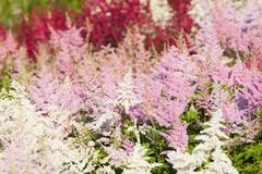 Heather flowers blossom in august Stock Photos
