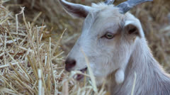 Goat eating hay5 Stock Footage