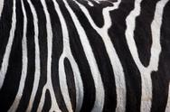 Stock Photo of zebra pattern