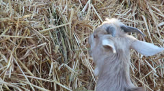 Goat eating hay4 Stock Footage