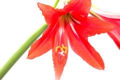 Red amaryllis flower on white background Stock Photos