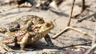 Couple Of mating Toads  in spring season Stock Footage