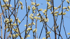 Flowering Pussy Willow Stock Footage