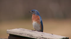 Eastern Bluebird (Sialia sialis) - Male 1 Stock Footage