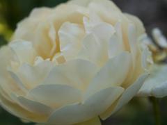 garden rose - stock photo