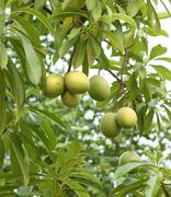 Stock Photo of cerbera oddloam fruit on tree