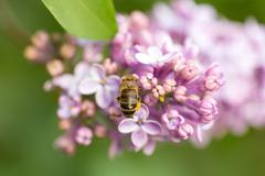 Bee collects nectar on lilac Stock Photos