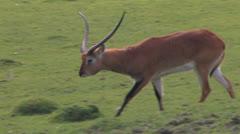 Blackbuck ANTELOPE Long Tracking shot through wilderness Stock Footage
