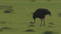 LARGE Ostrich Grazing on open Land (2 Sequence Shot) Stock Footage
