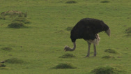 Stock Video Footage of LARGE Ostrich Grazing on open Land (2 Sequence Shot)