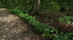 Deciduous forest pan footpath + Ramsons, Allium ursinum blooming + hold Stock Footage