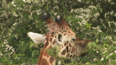 GIRAFFE Feeding from a TREE Close-up 2 Sequence Shot Stock Footage