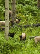 Sheepherd Stock Photos