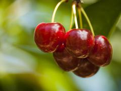 Cherry farm Stock Photos