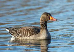 Goose on water - stock photo