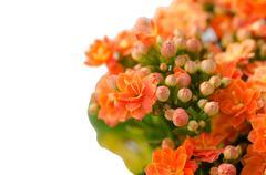 flaming katy flower - stock photo