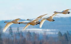 Whooper Swan in formation flight - stock photo
