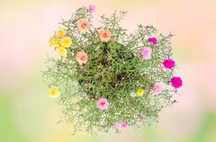 Portulaca flower Stock Photos
