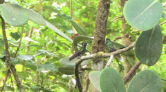 Purple-throated Mountain-Gem hummingbirds face off on branch LS-MLS Stock Footage