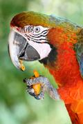 Macaw eating carrot - stock photo