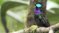 Purple-throated Mountain-gem's spectacular gorget & crown -- ECU Stock Footage