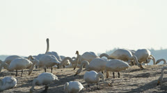 Whooper Swan in silhouette Stock Footage