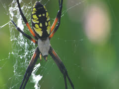 Spider Insect Builds Web in Grass To Catch Other Bugs and Eat Pests in Nature Stock Footage
