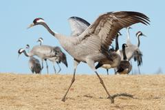 Common Crane Dance - stock photo