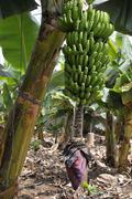 Banana bunch at Tenerife Stock Photos