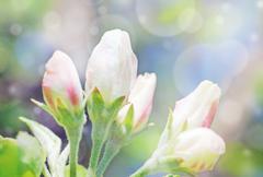 Apple tree flower buds bokeh Stock Photos