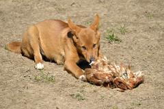 Dingo eating fowl - stock photo