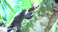 Stock Video Footage of Racoon in  a tree in slow motion