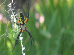 Spider Insect Builds Web in Grass To Catch Other Bugs and Eat Pests in Nature - stock footage